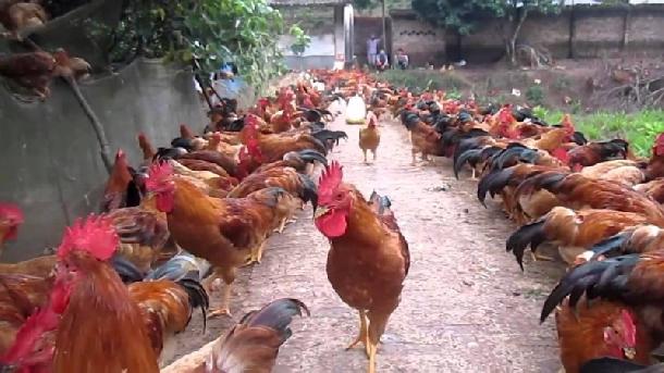 Hướng dẫn chăn nuôi gà thả vườn đạt hiệu quả cao