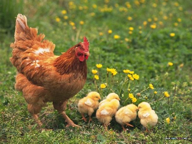 Kỹ thuật nuôi gà ta đẻ trứng hiệu quả cao