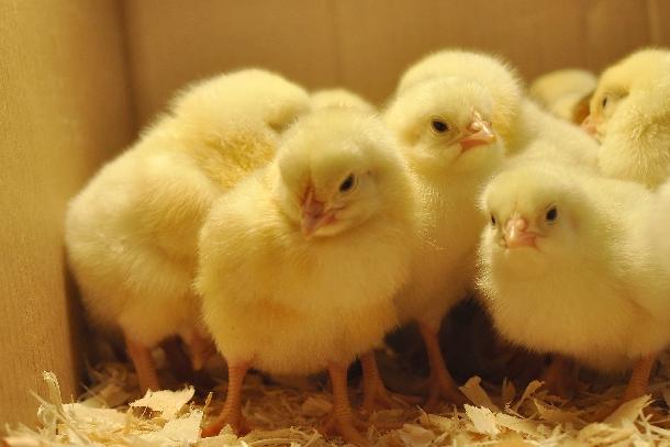 Hướng dẫn chăm sóc gà con từ mới nở đến 28 ngày tuổi