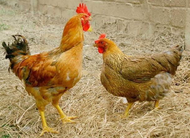 Hướng dẫn nuôi gà lương phượng