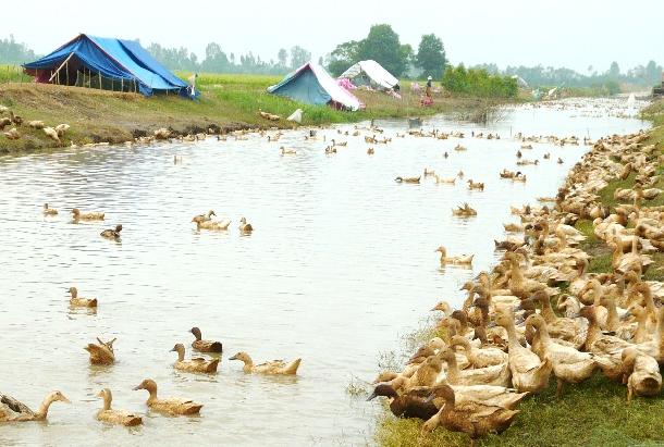 Hướng dẫn chăn nuôi vịt thả đồng