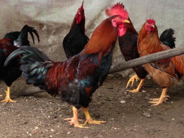 Những giống gà nội địa được nuôi phổ biến ở Việt Nam hiện nay