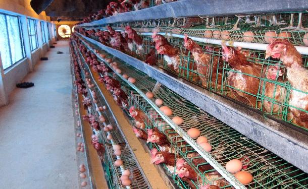 Hướng dẫn nuôi gà để trứng sản lượng cao chất lượng đồng đều