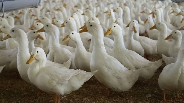 Hướng dẫn chăn nuôi vịt giống địa phương