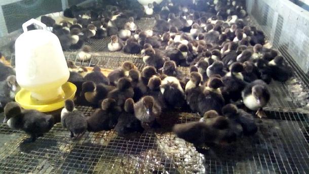 Có được thu nhập nhập khá từ mô hình chăn nuôi vịt xiêm