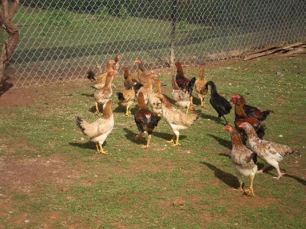 Mô hình làm giàu từ nuôi gà ta theo hướng bán công nghiệp