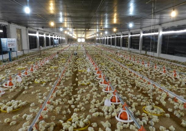 Các điều kiện quyết định thành công trong chăn nuôi