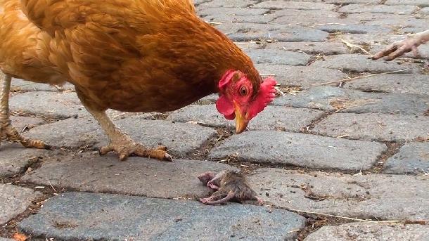 Những tác hại của chuột trong chăn nuôi gia cầm