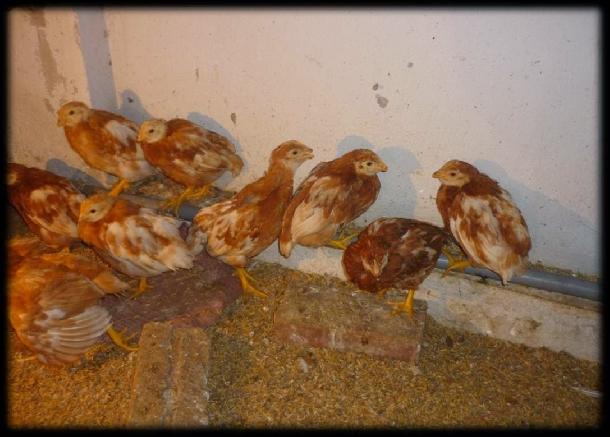 Hướng dẫn nhận biết gà bị bệnh và biện pháp khắc phục