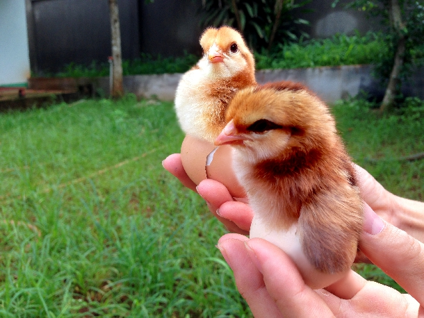 Hướng dẫn chọn gà giống đạt chất lượng giống tốt