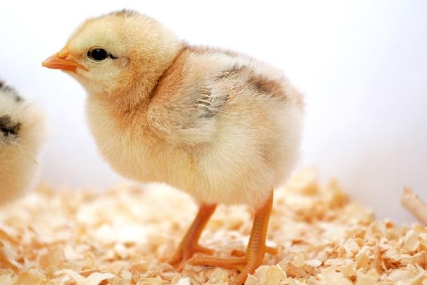 Kỹ thuật úm gà con từ 1 tới 4 tuần tuổi hiệu quả