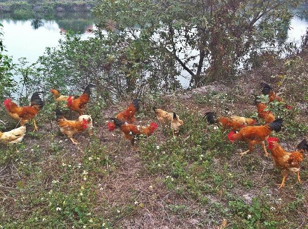 Cách phòng và trị một bệnh thường gập trong quá trình nuôi gà ta thả vườn