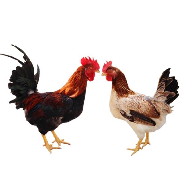 Bán gà ri lạc thủy ( gà ri hòa bình ) giống chuẩn giá rẻ